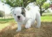 Venta de hermosos cachorros bulldog inglés