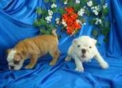 Cachorros  bulldog ingles