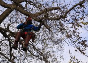 Tala y poda de árboles. trabajos en altura