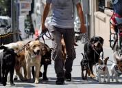 Paseos para perros en manada, paseador de perros