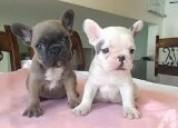 Cachorro de bulldog francés de calidad akc para ad
