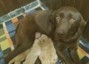 Labradores puros. hembras.