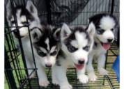 Cachorros de husky siberiano blue eyes ready